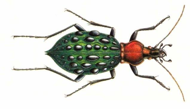 Carabus coptolabrus
