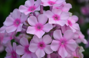 Phlox taking centre stage.